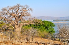 baobab at Sungo and Zambezi river (sample 25)